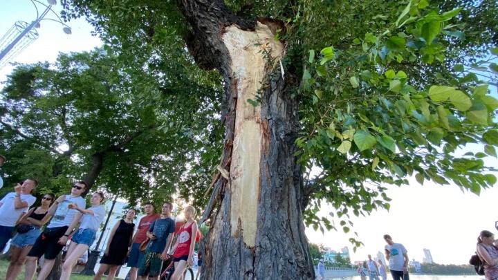 Что будет с деревом, спасшим пассажиров автобуса в момент ДТП на Плотинке