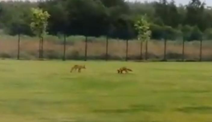 «Так и хочется потискать»: в Ярославле к людям вышли две пушистые лисицы. Видео