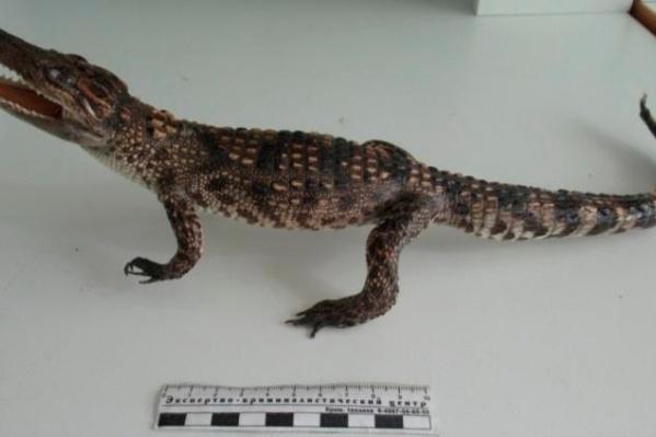 Так выглядит чучело крокодила, за которое кемеровчанин получил штраф