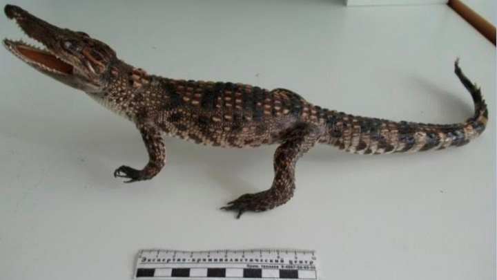 Кемеровчанина оштрафовали за попытку провести сиамского крокодила