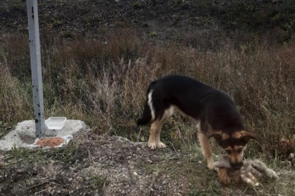 Такой Дина, так назвали собаку девушки, была в 2019 года. Она долго сидела на трассе, а после ушла из-за особого внимания людей