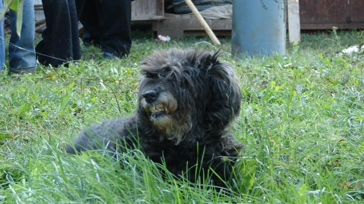В Самарской области бешеная собака набросилась на хозяйку