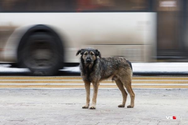 В Волгограде сейчас насчитывается больше 30 тысяч бездомных собак