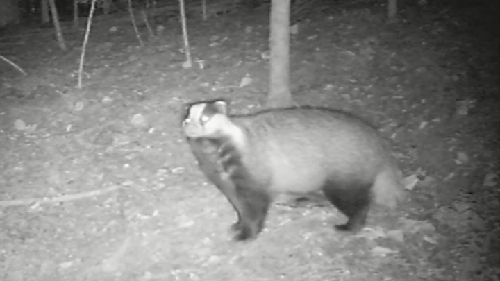 В Кенозерье записали любопытное видео с барсуком и другими лесными животными