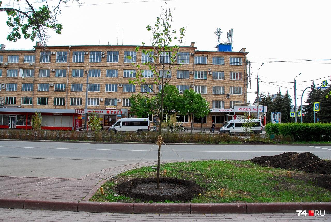 Новое дерево на проспекте Ленина оформлено аккуратно, но количество листвы всё равно пока ничтожно. Возможно, правильнее сначала высаживать деревья, а уже потом, когда они прижились, сносить старые?