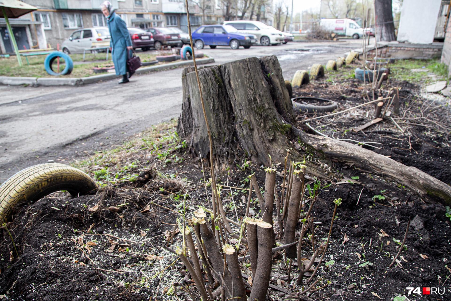 Во время вырубки пострадали три молодых кустарника
