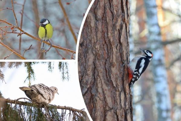 С наступлением тепла в Тюменской области певчие птицы стали радовать нас своими песнями. Давайте вместе полюбуемся пернатыми красавцами