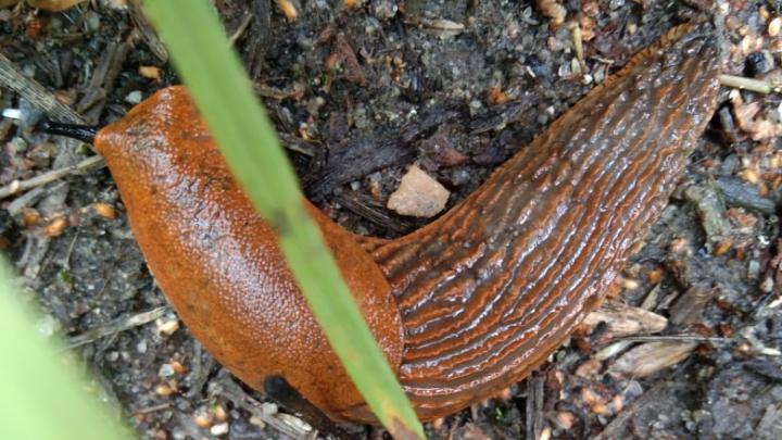 «Могут быть опасны»: в Ярославле обнаружили испанских слизней