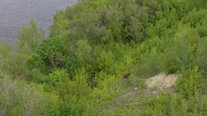 В Самаре на берегу Волги заметили лосёнка