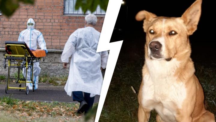 Антирекорд по коронавирусу и нападение собак: что случилось в Ярославле за сутки. Коротко