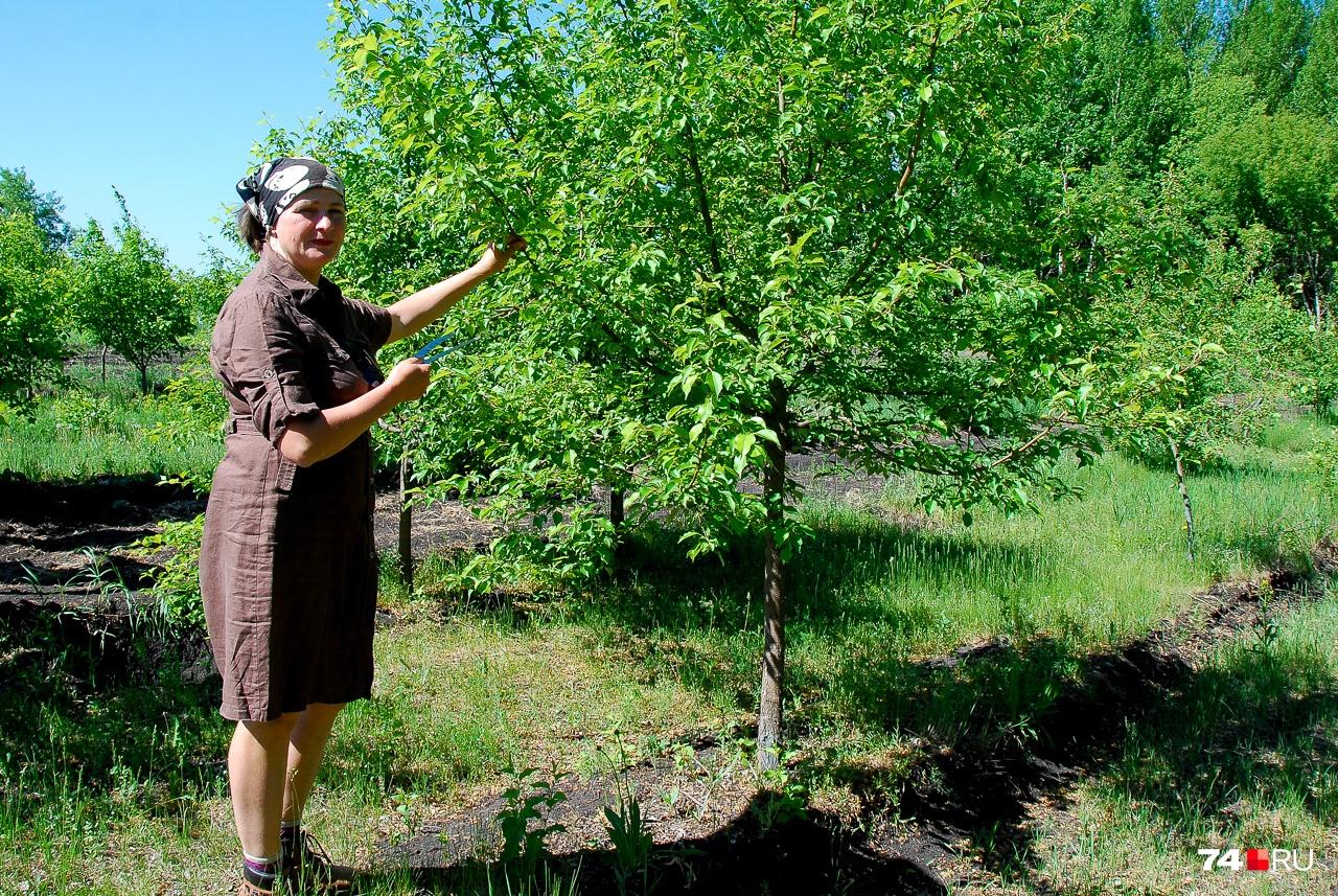 Обратите внимание на крону этой яблони: ветви растут равномерно, и потому дерево имеет классическую форму. Диаметр ствола — 6–8 см