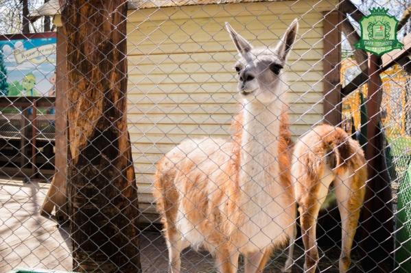 В мини-зоопарке жили ламы
