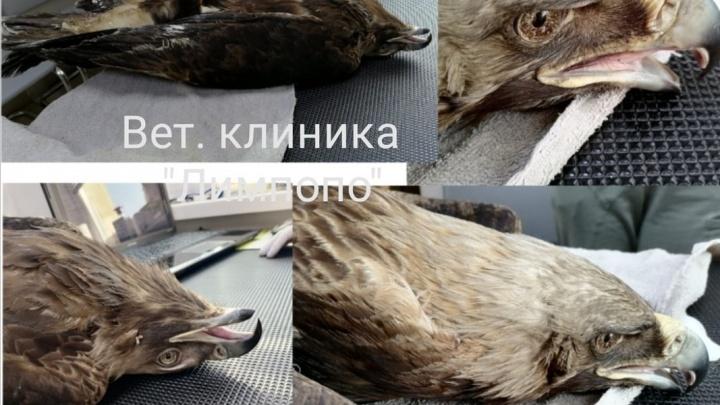 «Больше не сможет летать и будет жить в вольере»: туристы подобрали в Хакасии раненого орла