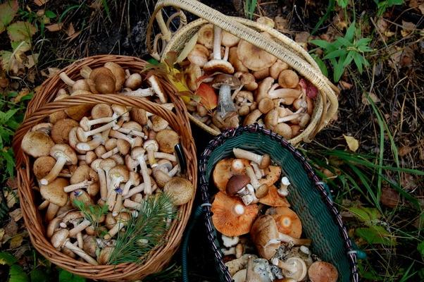 Полные корзинки: какие грибы можно собрать в октябре (публикуем карты, где найти их в Новосибирске и НСО)