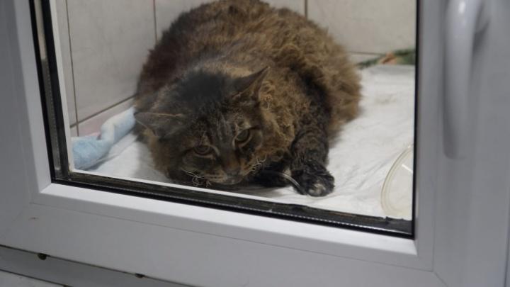 «Прогноз был неблагоприятным»: в ветклинике умер кот Барсик, который пострадал при взрыве газа в Перми