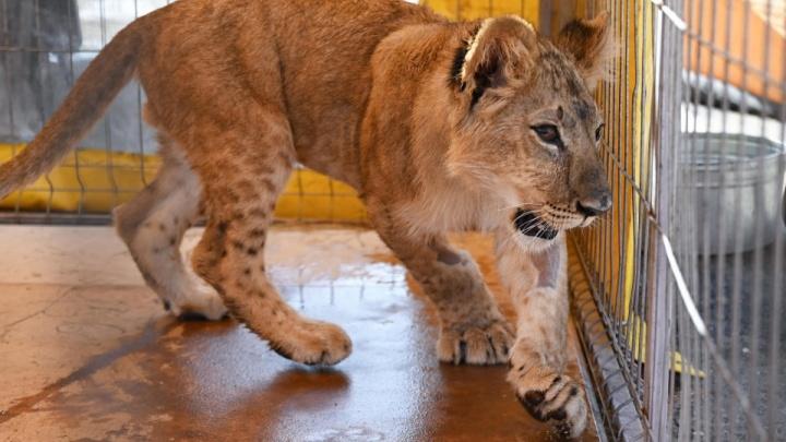 Пока остается «живым вещдоком»: в Волгограде спасенного полицейскими львенка конфисковали у его владельца