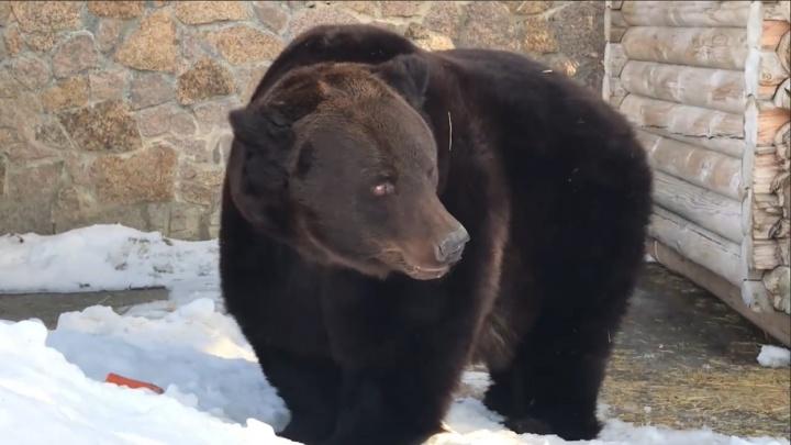 Весна пришла? В челябинском зоопарке проснулись медведи. Они милые