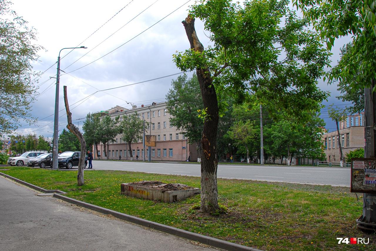 Улица Воровского: два обрезанных дерева, одно из которых умерло, второе — на полпути к могиле