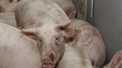 В Самарской области у жителей десятков населенных пунктов изымут свиней
