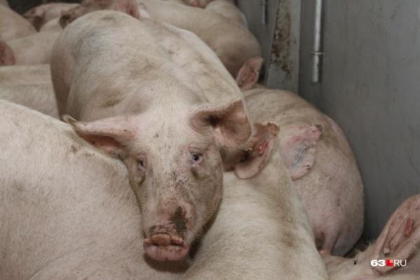 Специалисты запрещают выгуливать домашних свиней, чтобы они не могли подхватить заразу