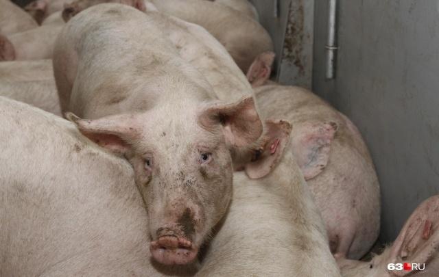 В Самарской области у фермеров начали изымать домашних свиней