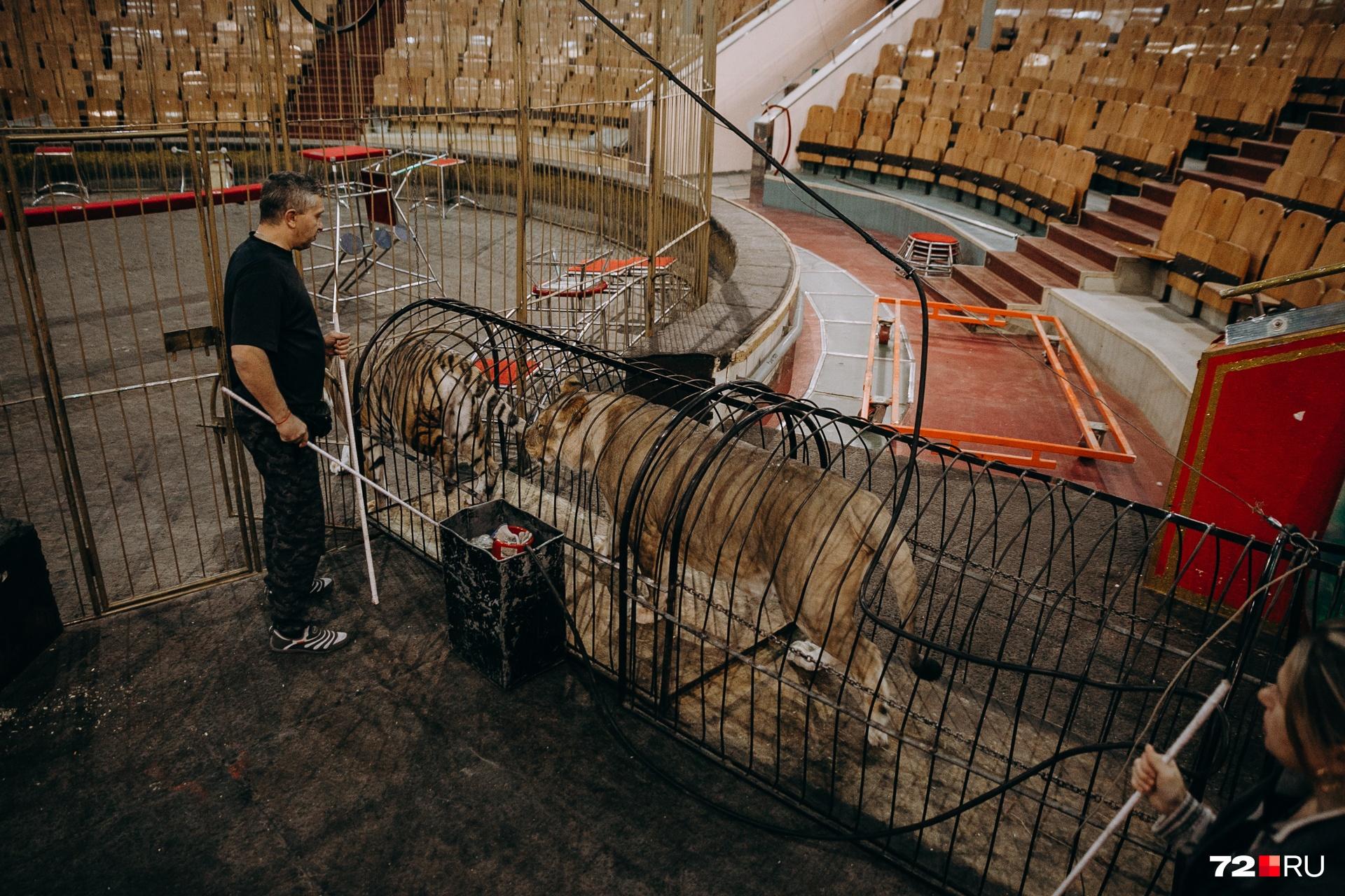 Хищники выходят на манеж по специальному тоннелю из крепких металлических прутьев. Ассистенты следят, чтобы всё прошло без сбоев