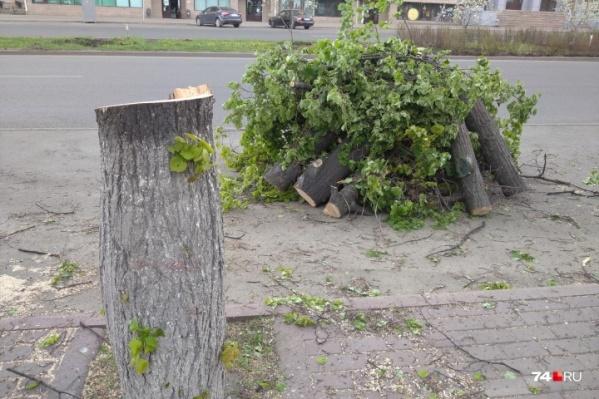 Чиновники уверяют, что деревья с приходом тепла не распустились. Получается, эта зелень на спиленных стволах бутафорская?