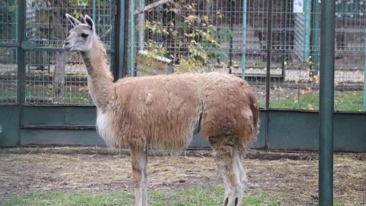 В Омск из Большереченского зоопарка переехали пони Люси и гуанако Маргоша