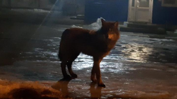 Не только в Архангельске: где ещё волки выходили к людям в Поморье