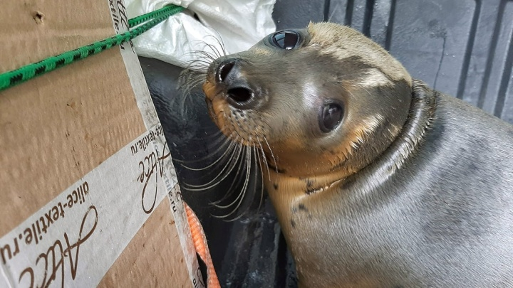 Волонтеры центра «Мата-Мата» выпустили гренландского тюленя на волю в Мезенском районе. Видео