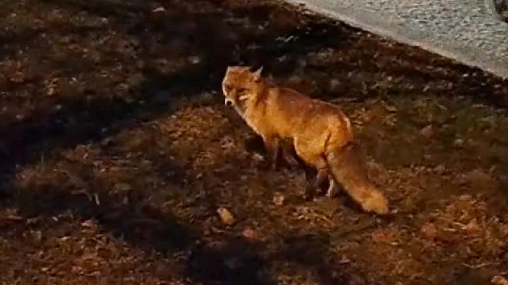 «Вот такие животинки гуляют»: в центр Ярославля прибежала лиса
