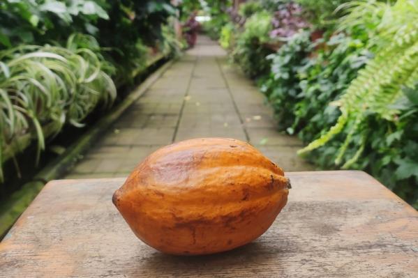Шоколадное дерево растет в Ботаническом саду