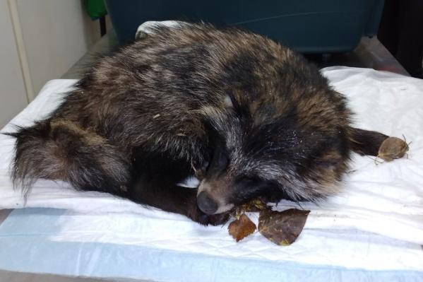 Енота ночью привезли в ветеринарную клинику