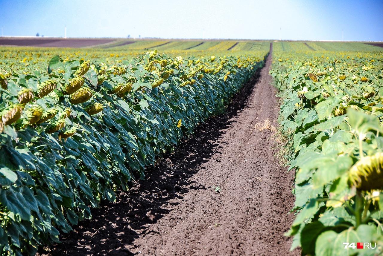 Слева — поле импортного гибридного подсолнуха, который даёт мощные головки и большой урожай. Справа — отечественный аналог, у которого головки помельче, но с учётом двукратной разницы в стоимости он даже выгоднее