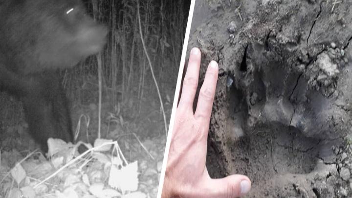 «Реальная опасность жизни!» Заммэра уральского города — о том, почему медведь каждую ночь приходит в сады