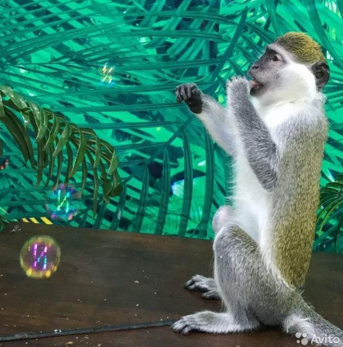 Эту обезьяну тоже продают
