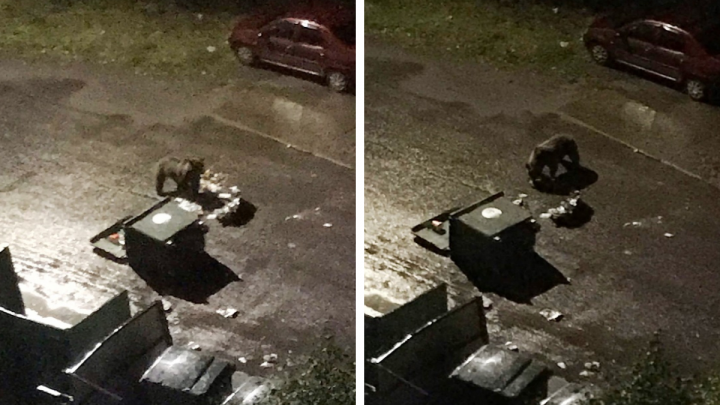 Медведь выходит к жилым домам Архангельска в поисках еды в мусорных баках
