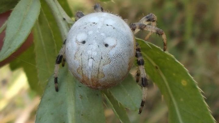 Селятся на балконах: ярославский биолог показал пугающие фото пауков, которые водятся в городе