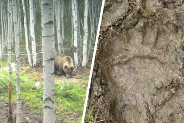Медведи выходят к людям в разных районах Свердловской области