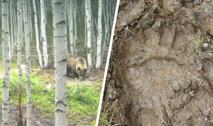 Медведи в городах и на трассах: охотовед объяснил нашествие косолапых на Урале