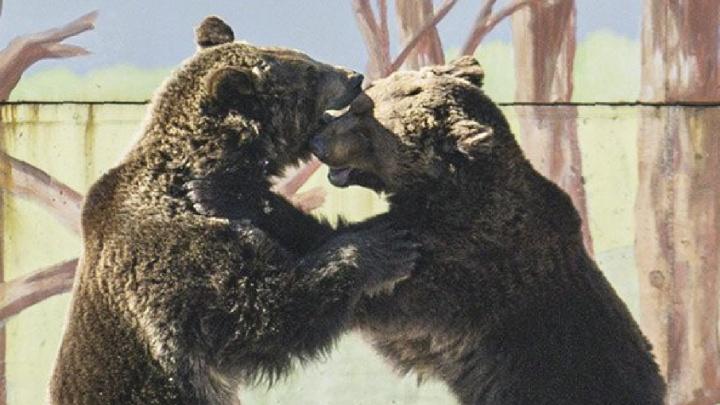 В берлогу больше не вернулись: в ярославском зоопарке проснулись медведи. Видео