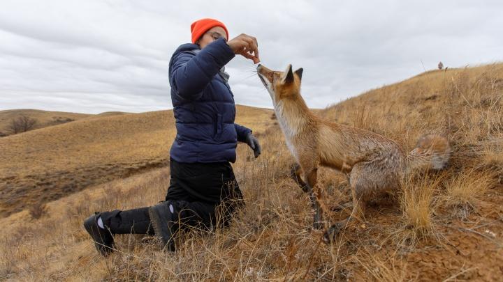Битва с сороками и бесконечные фотосессии: общительный лис стал хранителем Александровского грабена