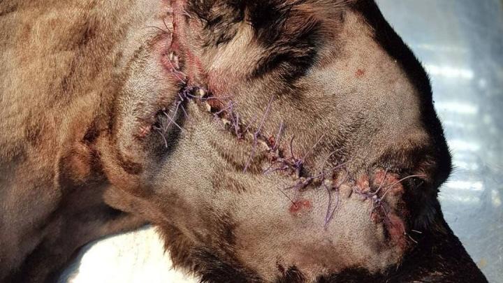 Водитель иномарки расстрелял собак в Сосновоборске