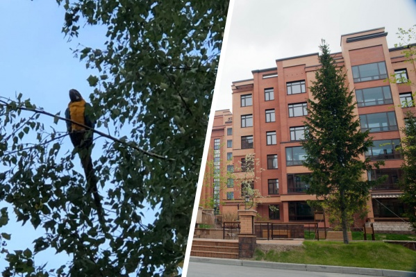 Попугай улетел с территории ЖК «Кедровый» несколько дней назад — птицу обнаружили в микрорайоне Родники