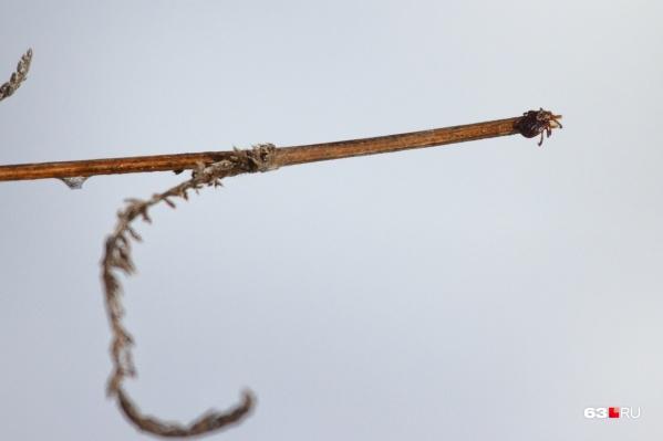 Клещи — подкласс членистоногих из класса паукообразных насекомых, их длина составляет 0,2–0,4мм