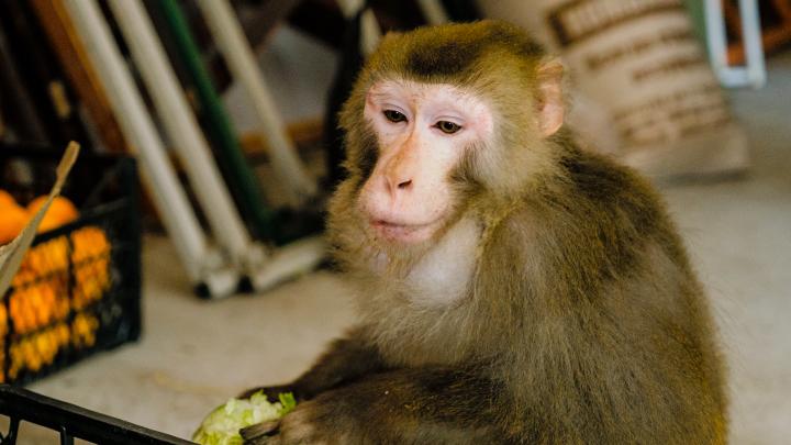 Из-за пандемии передвижной зоопарк остановился в Чусовом. В нем — обезьяны, еноты и рептилии