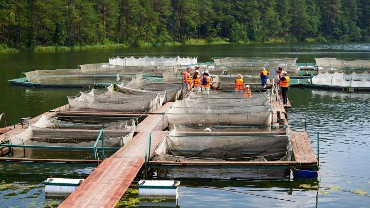 «Бизнес на волоске»: рыбью ферму в Михайловске унес ураган