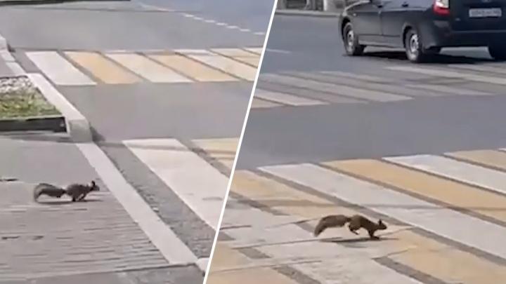 Видео: белка перебежала проезжую часть на улице Ново-Садовой