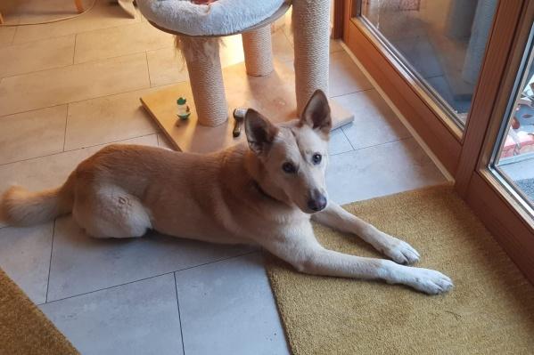 Брошенные собаки из Ярославля обретают любовь за границей
