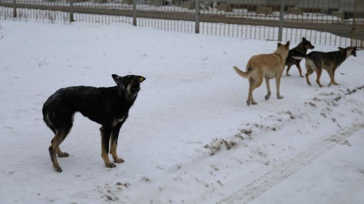 «Собаки уже натурально жрут людей»: в администрации города решают, что делать с бродячими животными